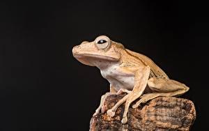 Фотографии Камень Лягушки На черном фоне Borneo Eared Frog Животные