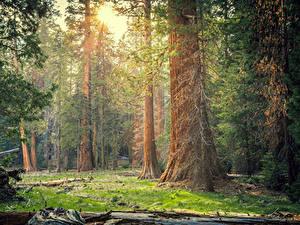Фотографии Штаты Парки Леса Калифорния Деревья Sequoia National Park