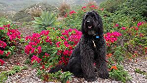Обои Собака Черная Сидящие Spanish Water Dog животное