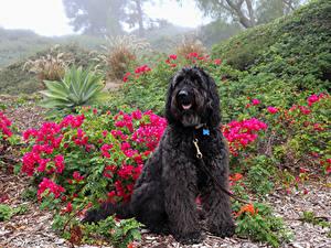 Обои Собака Черная Сидящие Spanish Water Dog