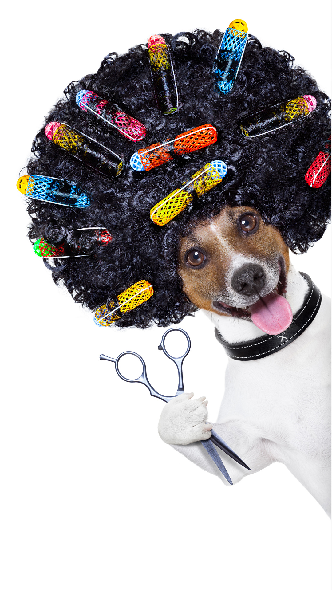 Обои для рабочего стола Причёска Белый фон Собаки Язык (анатомия) волос Джек-рассел-терьер кудри Смешные 1080x1920 для мобильного телефона прически белом фоне белым фоном собака языком Волосы смешной смешная забавные Кудрявые