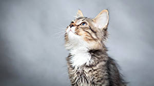 Фото Коты Котята Смотрит Животные