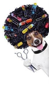 Обои Собаки Белом фоне Джек-рассел-терьер Волос Язык (анатомия) Смешные Причёска Животные