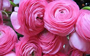Фото Лютик Крупным планом Розовый Цветы