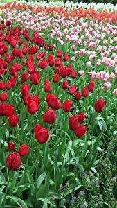 Картинка Нидерланды Парки Тюльпаны Много Keukenhof Цветы