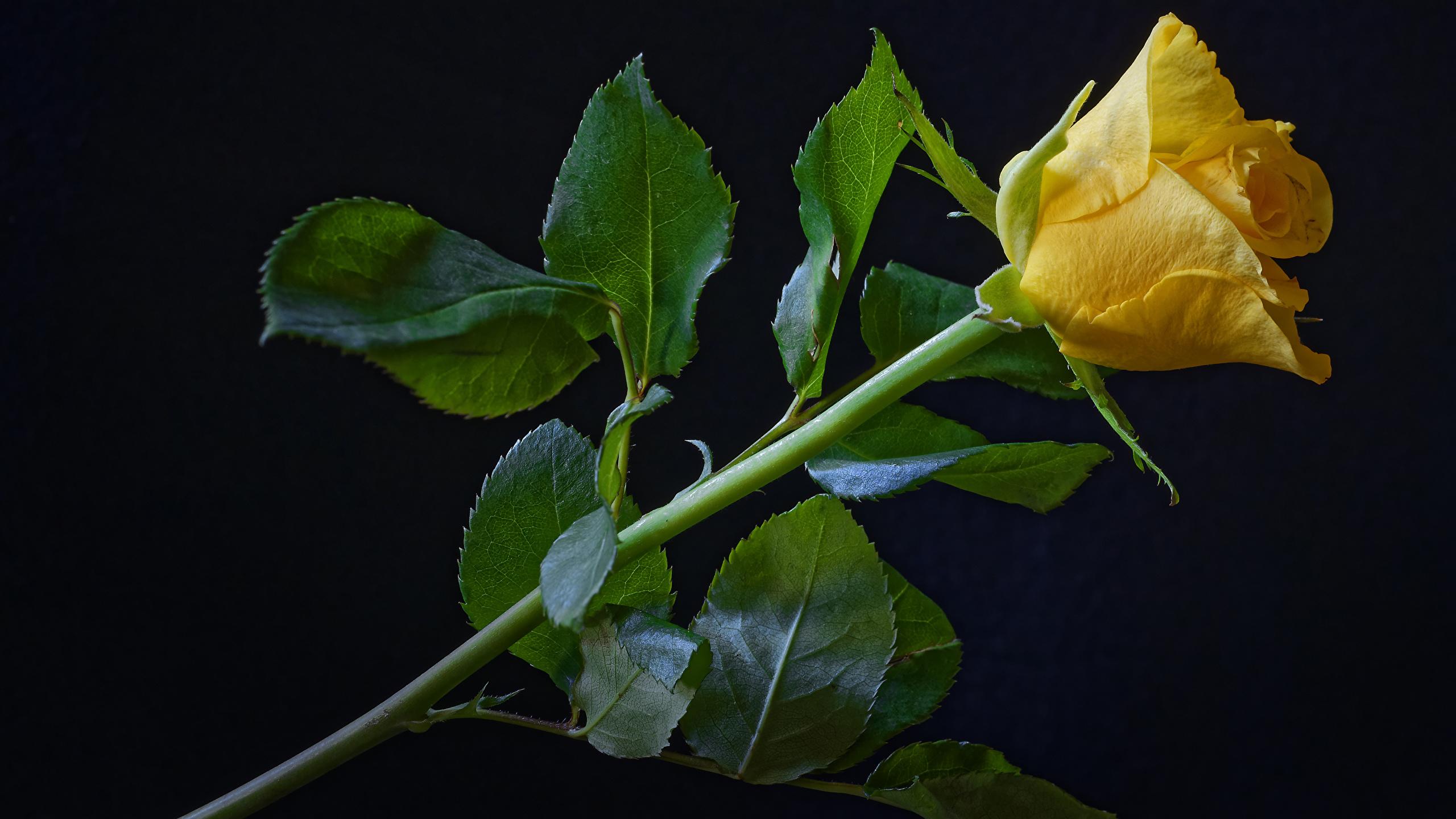 Картинки Розы желтых Цветы Черный фон Крупным планом 2560x1440 роза Желтый желтая желтые цветок вблизи на черном фоне