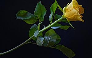 Картинки Розы Крупным планом Черный фон Желтых Цветы