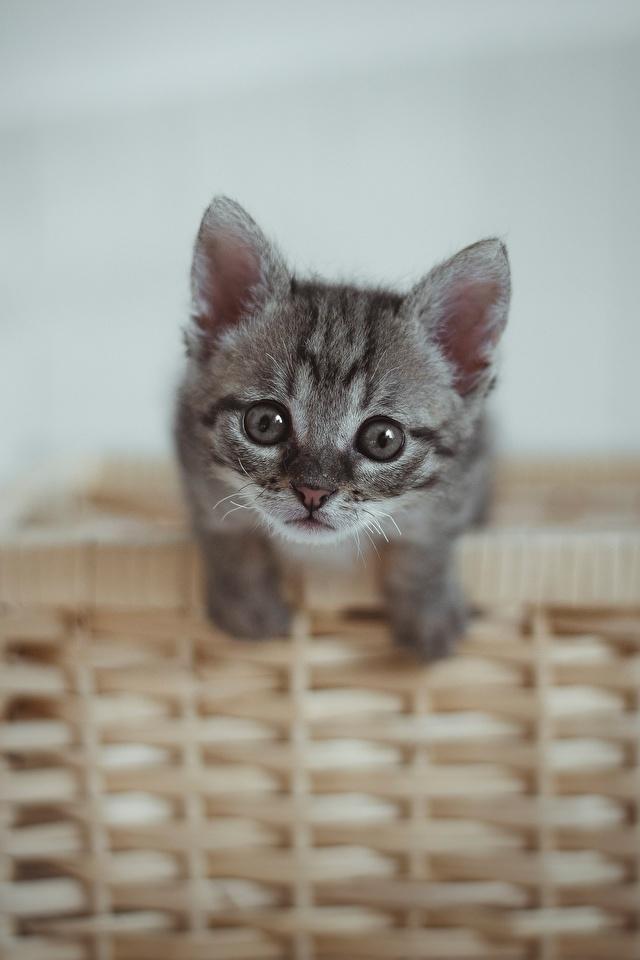 Фото котенка коты серые Корзина смотрит Животные 640x960 для мобильного телефона котят Котята котенок кот Кошки кошка серая Серый корзины Корзинка Взгляд смотрят животное