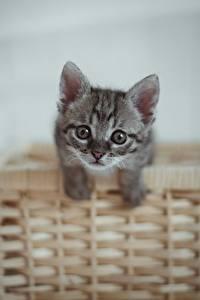 Фото Коты Котенка Корзина Смотрит Серые Животные