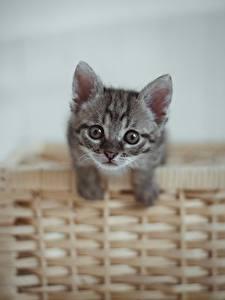 Фото Коты Котенка Корзина Смотрит Серые