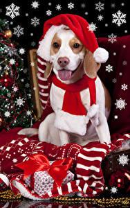 Картинки Рождество Праздники Собаки Шапки Язык (анатомия) Подарки Шарф Бантик Бигль
