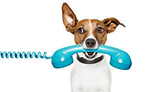 Фото Собаки Белом фоне Джек-рассел-терьер Телефона Смотрит