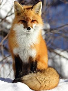 Фотография Лисы Зима Снег Животные