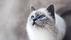 Картинка Кошки Смотрят Усы Вибриссы Морды животное