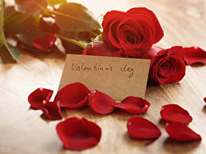 Фотографии День святого Валентина Роза Английская Красный Лепестков цветок