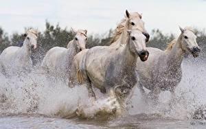 Картинка Лошади Белых Бегущая С брызгами Животные
