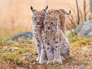 Обои Рысь Детеныши 2 Красивые Животные
