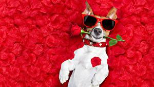 Картинка Собаки Роза Джек-рассел-терьер Очки Лепестков Забавные животное