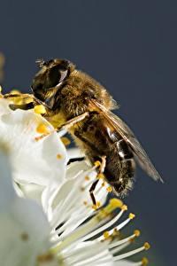 Обои Вблизи Пчелы Насекомое животное