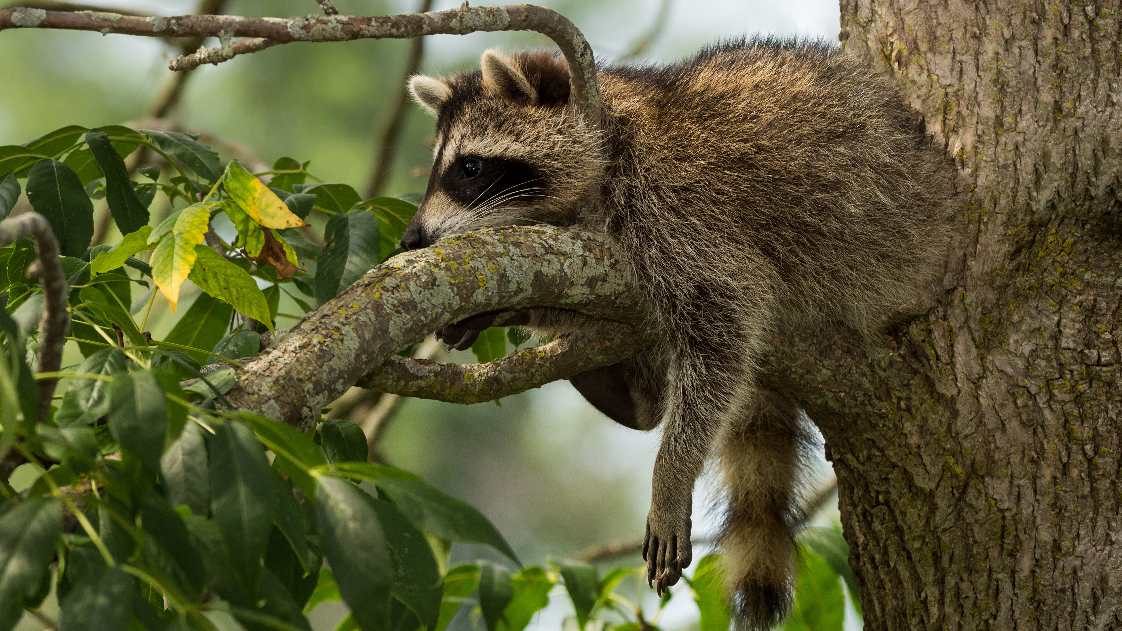 природа животное енот листья смотреть