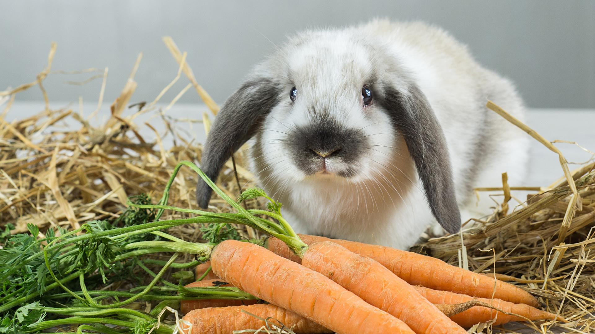 Фотографии Кролики Морковь животное 1920x1080 кролик морковка Животные