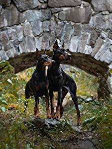 Фотография Собаки Доберман 2 Животные