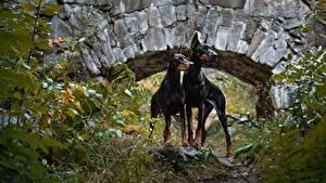 Фотография Собаки Доберманы 2 Животные