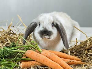 Фотографии Кролики Морковь Животные