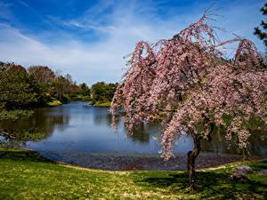 Обои США Парки Пруд Цветущие деревья Ель Missouri Botanical Garden Природа