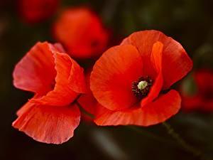 Фотография Вблизи Маки Красный Цветы