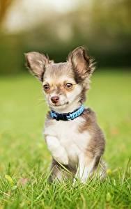 Фотографии Собаки Чихуахуа Трава Боке животное