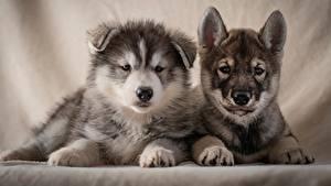 Картинка Собаки Двое Щенков Хаски Смотрят животное