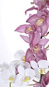 Фотография Орхидеи Крупным планом Белом фоне цветок