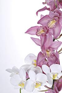 Фотография Орхидеи Крупным планом Белый фон Цветы