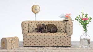 Картинки Собаки Чихуахуа Диван Спят Шляпе животное