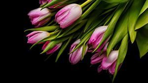 Фотография Тюльпаны Черный фон Розовый Цветы