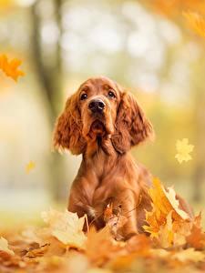 Картинки Собака Осень Листва Спаниель English Cocker Spaniel