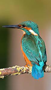 Картинка Обыкновенный зимородок Птицы Ветки Размытый фон животное