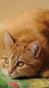 Картинки Коты Смотрит Рыжий Жирная