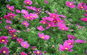 Обои Космея Много Розовая цветок