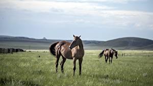 Картинки Лошади Луга Вдвоем Трава Животные
