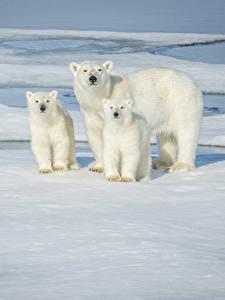 Фото Медведи Белые Медведи Детеныши Трое 3 Лед Смотрит животное