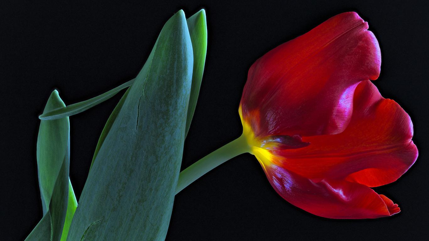 Фотография красные тюльпан цветок вблизи на черном фоне 1366x768 красных Красный красная Тюльпаны Цветы Черный фон Крупным планом