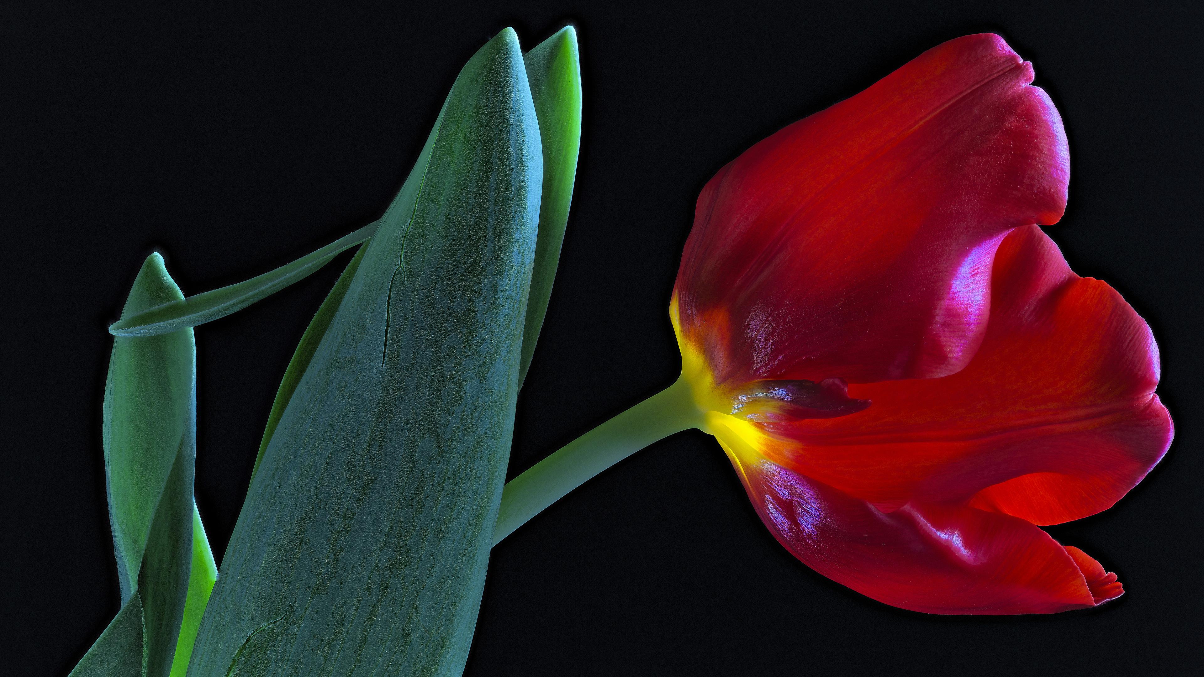 Фотография красная Тюльпаны Цветы вблизи Черный фон 3840x2160 красных красные Красный Крупным планом