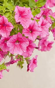 Картинки Петуния Крупным планом Цветной фон Розовый Цветы