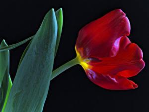 Фотография Тюльпаны Вблизи Черный фон Красный Цветы