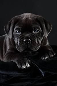Картинки Собаки Кане корсо Черный Черный фон Животные