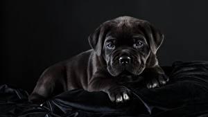Картинки Собаки Кане корсо Черные Черный фон животное