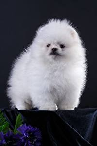 Обои Собаки Белый Шпиц