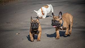 Фото Французский бульдог Собаки Трое 3 Смешные Животные
